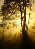 Tree on a morning in October in the backlight, Bavaria, Germany, Europe