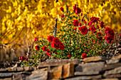 Rosen in einem Weinberg bei Winningen, Rheinland Pfalz, Deutschland, Europa