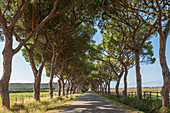 Avenue in the Maremma Regional Park, Tuscany, Italy