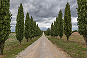 Cypress avenue in Val d'Orcia, Tuscany, Italy
