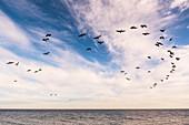 Wild geese in foramtionsflug at the Baltic Sea, Süssau, Ostholstein, Schleswig-Holstein, Germany