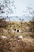 Sheep in the dunes on the Baltic Sea, Klostersee, Ostholstein, Schleswig-Holstein, Germany