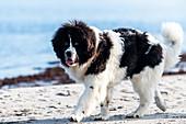 Young Newfoundland dog on the Baltic Sea beach, Baltic Sea, Heiligenhafen, dog, Ostholstein, Germany