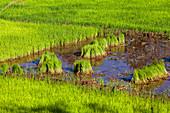 Rice seedlings, rice field, highlands, Madagascar, Africa