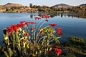 Poinsettia, Euphorbia pulcherrima, at Lake Itasy, Lac Itasy, Merina tribe, highlands west of Antananarivo, Madagascar, Africa