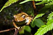 Frog in the rainforest of Ranomafana, Ranomafana National Park, Madagascar, Africa
