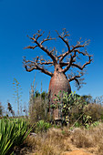 Baobab, Adansonia rubrostipa, Berenty Reserve, Southern Madagascar