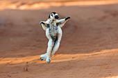 Dancing larval sifaka, Propithecus verreauxi, Berenty Reserve, Madagascar, Africa
