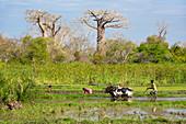 Farmer plows rice field near Morondava, baobabs, Adansonia grandidieri, Madagascar, Africa