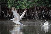 Gambia; Western Region; on the Bintang Bolong; Pelican spreads its wings; was startled by the loud boat engine