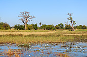 Gambia; Central River Region; Pond with water lilies on the road to Kuntaur; behind it baobab trees and rice fields