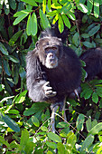 Gambia; Central River Region; Chimpanzee on the riverside; in the chimpanzee rehabilitation center on the Gambia River near Kuntaur