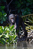 Gambia; Central River Region; Chimpanzee on the riverside; in the chimpanzee rehabilitation center on the Gambia River near Kuntaur; comes close to the shore to watch the boats