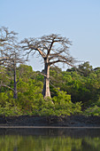 Gambia; at Bintang Bolong; wintry baobab tree without leaves; lush vegetation in the bank area