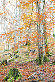 The beech forest in the Upper Austrian Almtal shines in the most beautiful autumn colors, Upper Austria, Austria