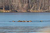 Wild boar pack collapsed in the ice of a lake, fights for survival, Germany, Brandenburg