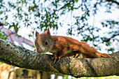 Portrait of rescued baby squirrel foundling sitting on a branch, Germany, Brandenburg
