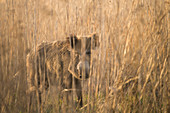 Portrait of a wild boar brook in the tall reed grass, Germany, Brandenburg
