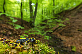 Portrait fire salamander in its habitat, Germany, Thuringia