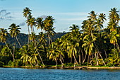 Coconut palms along Bora Bora Lagoon, Bora Bora, Leeward Islands, French Polynesia, South Pacific