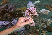 Hand holds coral planted as part of the 'Association of Coral Gardeners' program in the Moorea Lagoon, Windward Islands, French Polynesia, South Pacific