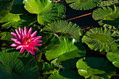 A water lily adorns a pond at Sofitel Ia Ora Beach Resort, Moorea, Windward Islands, French Polynesia, South Pacific