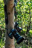 Two Panasonic Lumix cameras hang on the tree during a jungle walk, Moorea, Windward Islands, French Polynesia, South Pacific