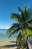 Coconut palm leans over water in the Moorea Lagoon, Moorea, Windward Islands, French Polynesia, South Pacific