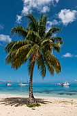 Coconut palm on the beach of Opunohu Bay with sailboats in the Moorea Lagoon, Moorea, Windward Islands, French Polynesia, South Pacific