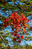 Flowers of a magnificent red flame tree (Delonix regia), Taiohae, Nuku Hiva, Marquesas Islands, French Polynesia, South Pacific
