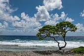 Tree on the beach on the south Pacific side of the atoll, Avatoru Island, Rangiroa Atoll, Tuamotu Islands, French Polynesia, South Pacific