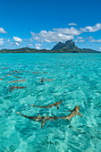 Whitetip reef sharks during boat trip with the 'Shark Boys' in Bora Bora lagoon with Mount Otemanu in the distance, Bora Bora, Leeward Islands, French Polynesia, South Pacific