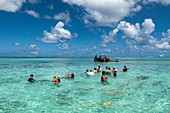 People swim with stingrays and sharks during a boat trip with the 'Shark Boys' in the Bora Bora lagoon, Bora Bora, Leeward Islands, French Polynesia, South Pacific