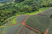 Aerial view of pineapple plantation in the Paopao Valley, Moorea, Windward Islands, French Polynesia, South Pacific