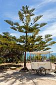 Norfolk fir (Araucaria heterophylla), ice cream sellers bike, Selinunte, Sicily, Italy