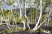 Birken (Betula pendula), Ätna, Monti Sartorius, Sizilien, Italien