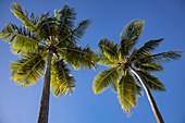 Two coconut trees at Malamala Island Beach Club, Mala Mala Island, Mamanuca Group, Fiji Islands, South Pacific