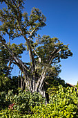 Majestic fig tree in the gardens of Six Senses Fiji Resort, Malolo Island, Mamanuca Group, Fiji Islands, South Pacific