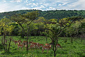 Antelopes in grasslands with trees and mountain behind, Akagera National Park, Eastern Province, Rwanda, Africa