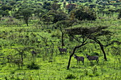 Zebras in lush grassy landscape with trees, Akagera National Park, Eastern Province, Rwanda, Africa