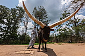 Low view of Inyambo (sacred) cow with huge horns and guardian in the garden of the Royal Palace Museum of Mutara III Rudahigwa from 1931, Nyanza, Southern Province, Rwanda, Africa