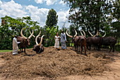 Young woman poses with Inyambo (sacred) cows with huge horns and their keepers in the garden of the Royal Palace Museum of Mutara III Rudahigwa from 1931, Nyanza, Southern Province, Rwanda, Africa