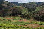 Tea plantations on the hillside, near Mudasomwa, Southern Province, Rwanda, Africa