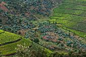 View over tea plantation on hillside, near Mudasomwa, Southern Province, Rwanda, Africa