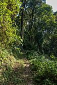 Lush vegetation along the Igishigishigi Trail on the way to the Canopy Walkway, Nyungwe Forest National Park, Western Province, Rwanda, Africa