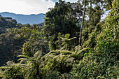 Tree ferns and lush vegetation seen from Canopy Walkway, Nyungwe Forest National Park, Western Province, Rwanda, Africa