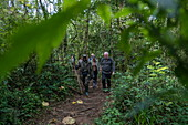 Ranger guide and hiking group run through lush jungle during a chimpanzee discovery hike in Cyamudongo Forest, Nyungwe Forest National Park, Western Province, Rwanda, Africa