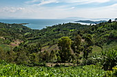 Banana tree plantation with Lake Kivu in the distance, near Kinunu, Western Province, Rwanda, Africa