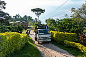 Workers from coffee plantation drive onto the back of a truck, Kinunu, Western Province, Rwanda, Africa