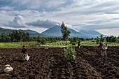 Women harvest potatoes from fertile fields, Volcanoes National Park, Northern Province, Rwanda, Africa